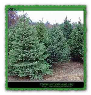 Ставим натуральную елку