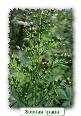 Зобник или зобная трава