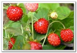 Из ягод, листьев земляники