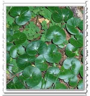 Полезные свойства растения копытень