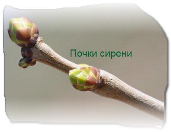 Почки деревьев и кустарников