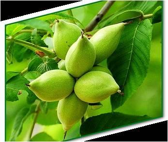 Лечение маньчжурским орехом