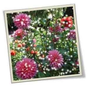 Георгины - цветы лечебные