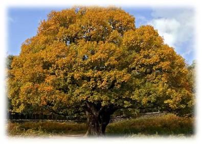 Дуб - дерево лечебное