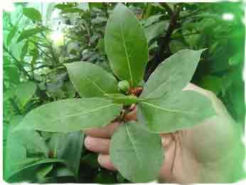 Рецепт лечения дерматита лавровым листом