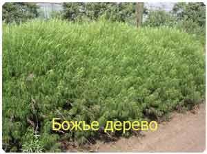 Лечебные травы полынь