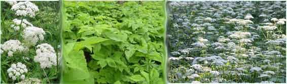 Чем полезна трава сныть,какие полезные вещества содержит и при каких болезнях её используют,лечебные и вкусные рецепты с травой сныть