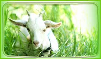 Чем козье молоко полезнее коровьего