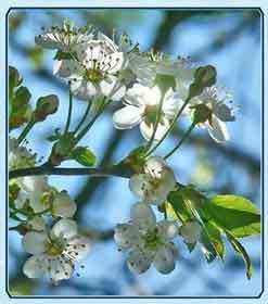 Средства из вишневых листьев