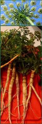 Чем полезна дикая морковь