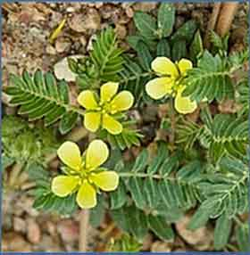 Растения от атеросклероза