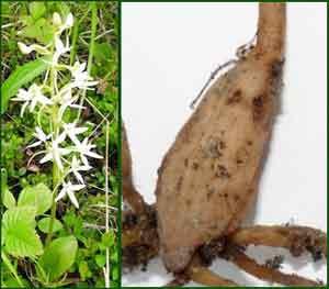 Растение любка двулистная