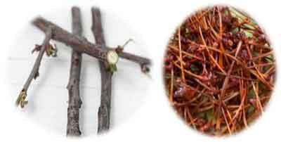 Лечебные плодоножки и веточки вишни