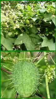 Колючеплодник