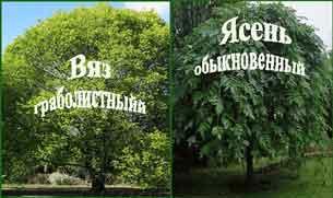 ясень и вяз