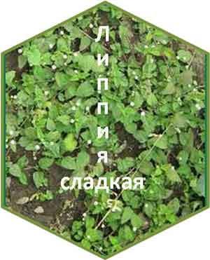 листьев липпии