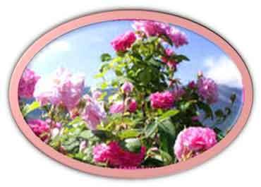 крымской розы