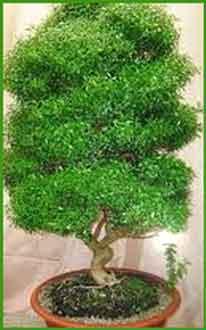 применение листьев мирта