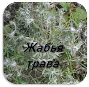 сушеница или жабья трава